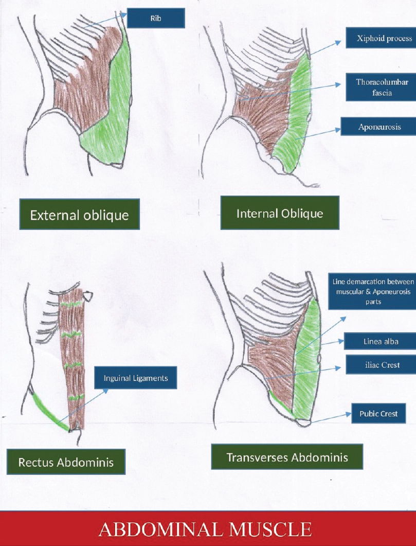 Anatomical correlation of core muscle activation in ... Oblique Exercises Abe